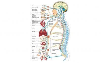 La chiropratique et le système nerveux central